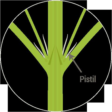 marijuana-pistils-early-flowering-stage