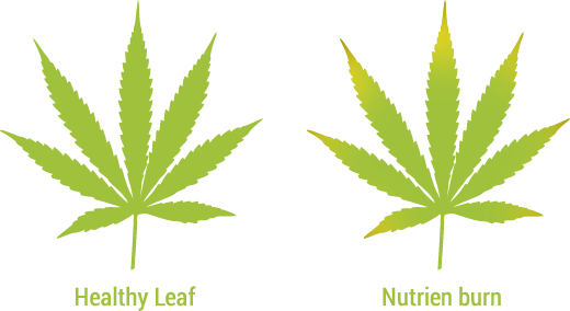 nutrient-burn-cannabis-leaf-comparison