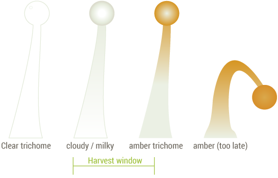 trichomes-stages-harvesting