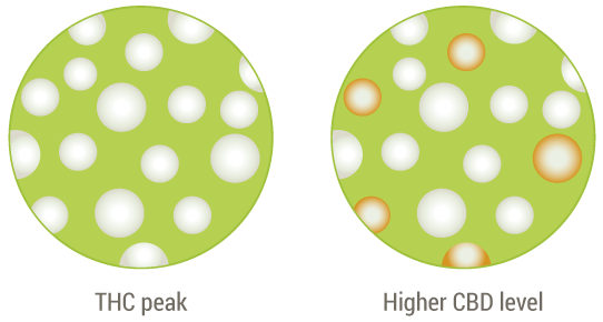 trichomes-thc-cbd-levels